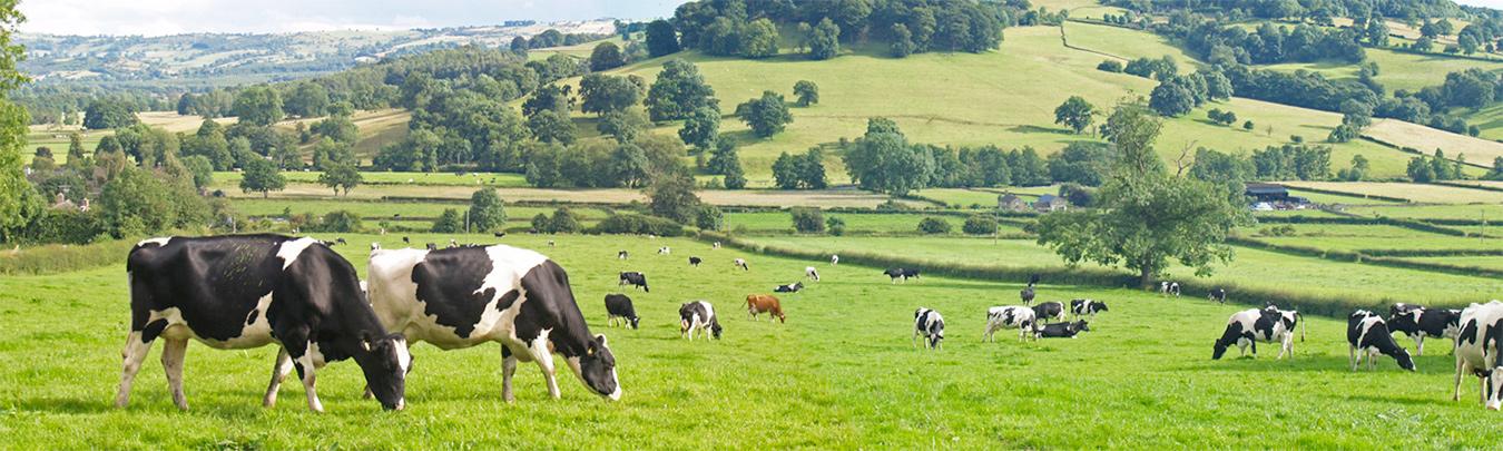 quỹ nông trại bò sữa Úc